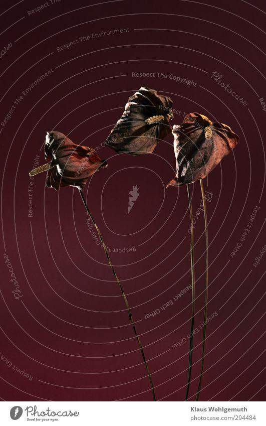 Vergängliche Schönheit Pflanze Blume Topfpflanze exotisch Anthurie verblüht braun rot schwarz Stängel vertrocknet Blüte Traurigkeit Farbfoto Gedeckte Farben