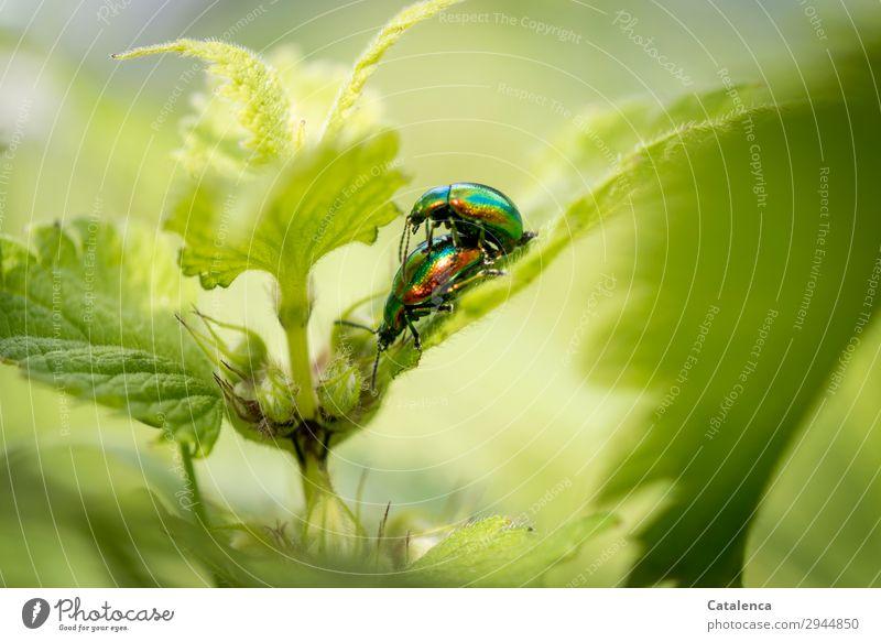 Hinterhältig Natur Pflanze Tier Frühling Blatt Blüte Brennnessel Taubnessel Garten Wiese Feld Käfer Blattkäfer Ovaläugiger Blattkäfer Insekt 2 krabbeln schön