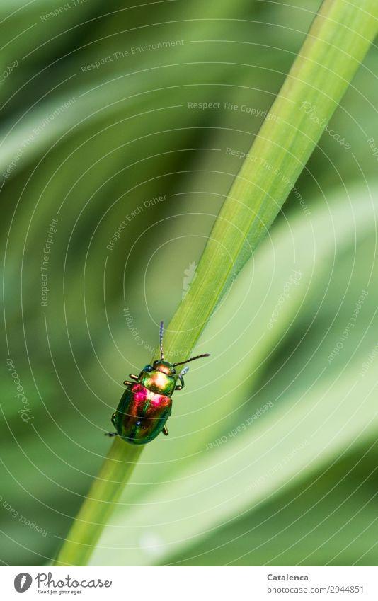 Glänzender Aufstieg Natur Pflanze Tier Frühling Gras Blatt Halm Garten Wiese Käfer Blattkäfer Ovaläugige Blattkäfer Insekt 1 krabbeln schön klein grün orange