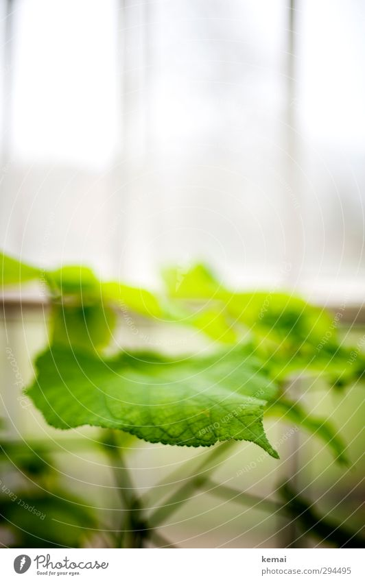Green Grün Pflanze Blatt Grünpflanze Garten Gewächshaus Wachstum frisch hell grün weiß Energie Farbfoto Gedeckte Farben Innenaufnahme Nahaufnahme Menschenleer