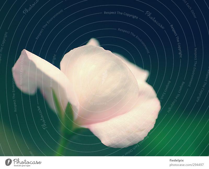 Feenblüte Pflanze grün schön Sommer Blume Blüte Liebe Garten Stimmung hell rosa Idylle Blühend Romantik Rose Duft