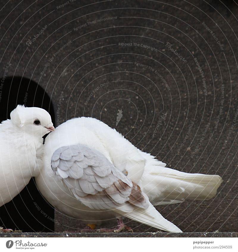 schatz, du verdrehst mir den kopf Hütte Mauer Wand Fassade Tür Tier Nutztier Vogel Tiergesicht Flügel Pfote Zoo Taube 2 Tierpaar bauen Liebe Reinigen streichen
