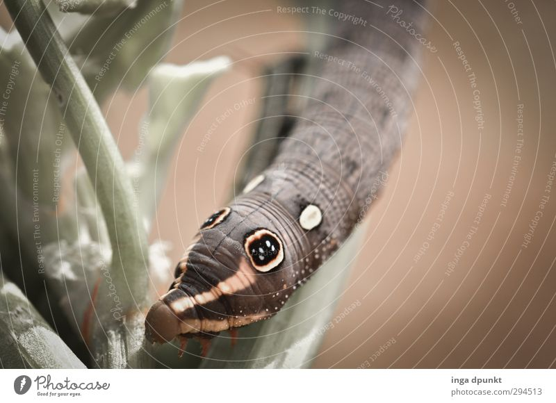 Schöne Augen Umwelt Natur Tier Wildtier Raupe Insekt Insektenlarve Schmetterling 1 natürlich Neugier niedlich Vergänglichkeit Pflanze Fressen Larve
