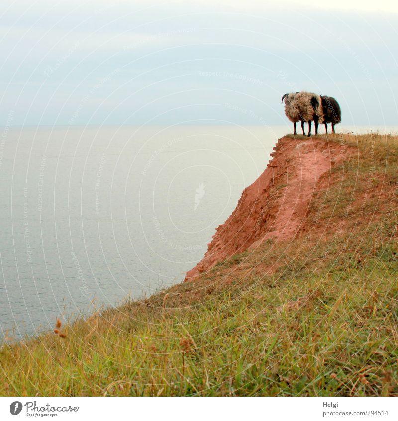 und nu....??? Freiheit Sommer Meer Insel Umwelt Natur Landschaft Wasser Pflanze Gras Wiese Felsen Seeufer Nordsee Helgoland Tier Nutztier Fell Schaf 2 Blick