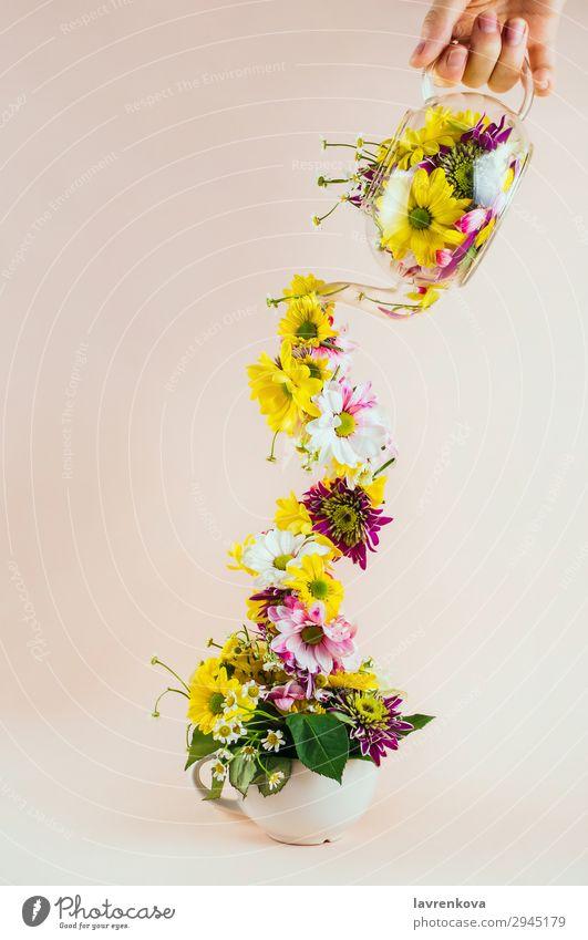 Teekanne aus Glas mit verschiedenen Blumen, die in die Tasse gegossen werden. Pastellton selektiv Halt Hand eingießen zugießen Becher Glaskessel Entwurf