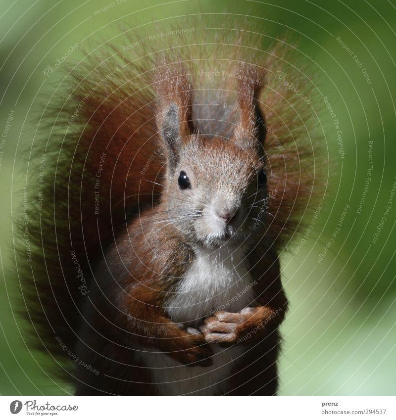 Belotschka Umwelt Natur Tier Schönes Wetter Wildtier 1 braun grün Eichhörnchen Nagetiere niedlich Farbfoto Außenaufnahme Menschenleer Textfreiraum rechts Tag