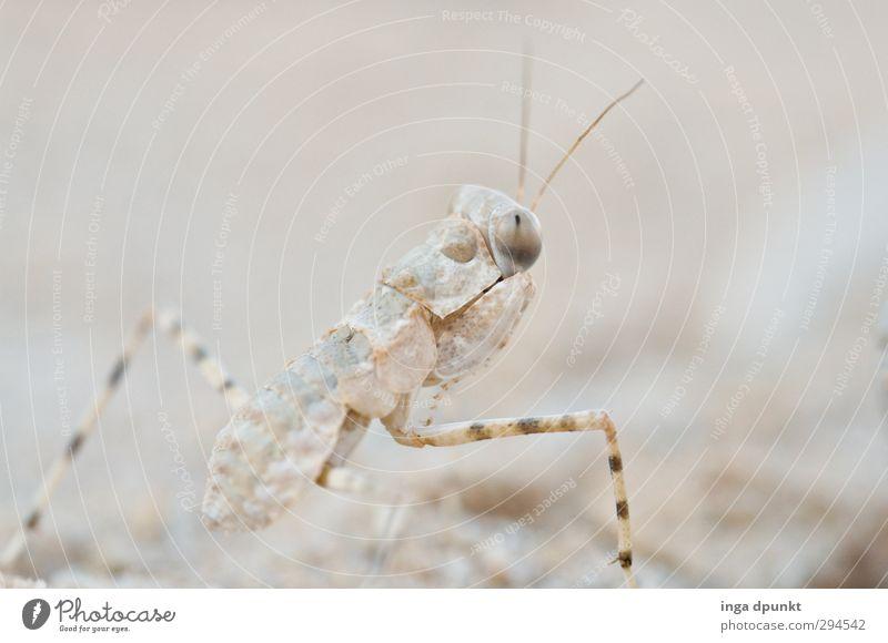 Tarnfärbung Umwelt Natur Tier Wildtier Insekt Wüste Wüste Judäa Negev Fühler Auge Blick 1 krabbeln Tarnung Tarnfarbe Farbfoto Gedeckte Farben Außenaufnahme