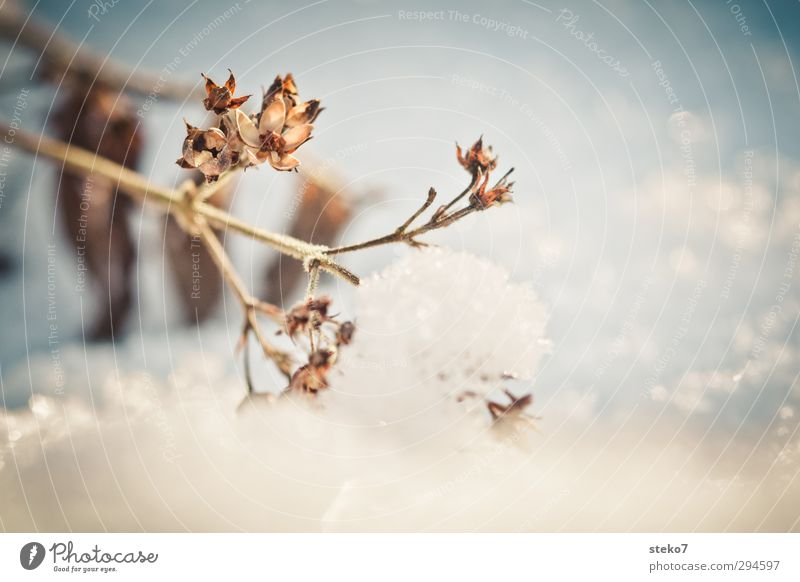 aktuelles Frühblüher-Bild Winter Landschaft Klimawandel Schnee Pflanze dehydrieren alt kalt trocken braun weiß Überleben Vergänglichkeit Wandel & Veränderung