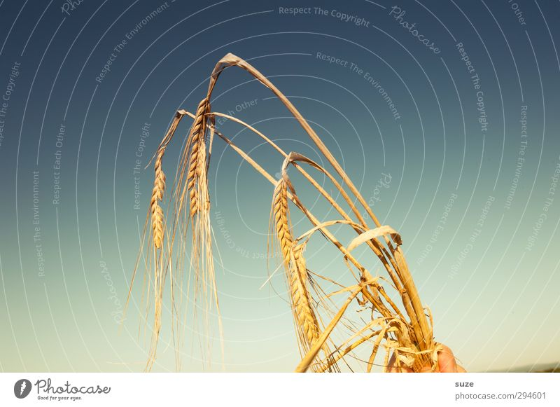 Drum halt´s in Ähren! Lebensmittel Getreide Bioprodukte Sommer Hand Finger Umwelt Natur Pflanze Himmel Schönes Wetter Nutzpflanze festhalten Wachstum