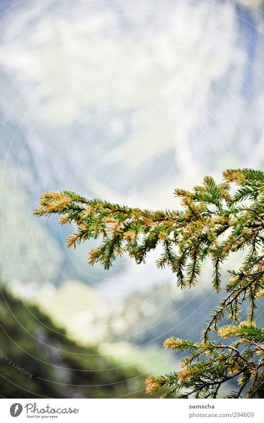 Nadelbaum Umwelt Natur Pflanze Baum Wald Alpen Wachstum natürlich wild grün Naturschutzgebiet Naturerlebnis Ast Freiheit frei Pflanzenteile Berge u. Gebirge
