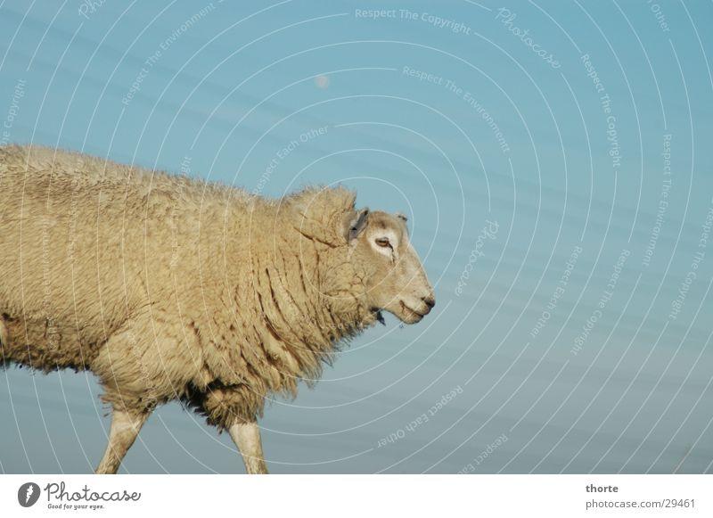Dolly Schaf Hochspannungsleitung Deich Tier Wolle Himmel