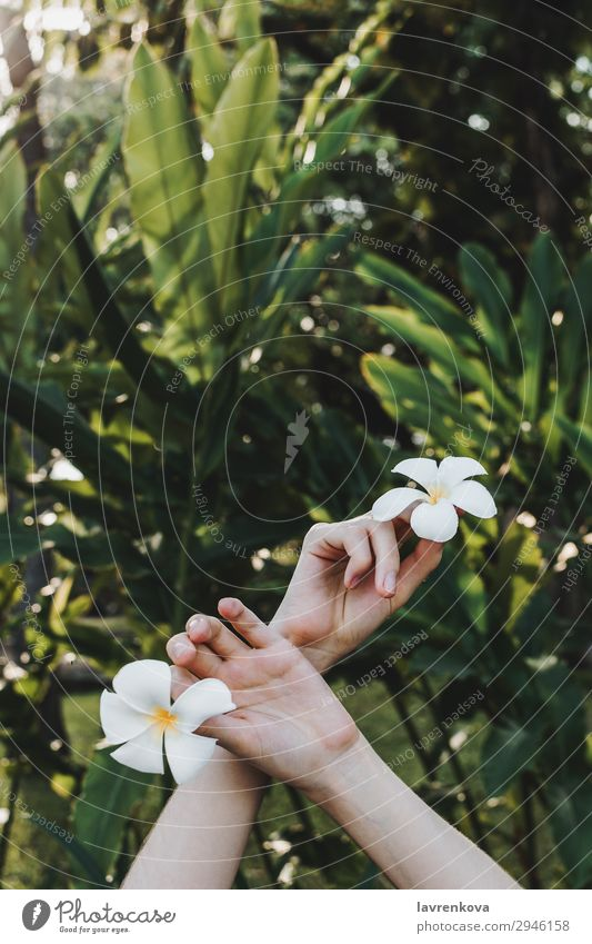 Hände halten plumeria Blumen in den Händen im tropischen Wald Beautyfotografie Blüte gesichtslos Frangipani frisch Garten Gras grün Hand Blatt Natur