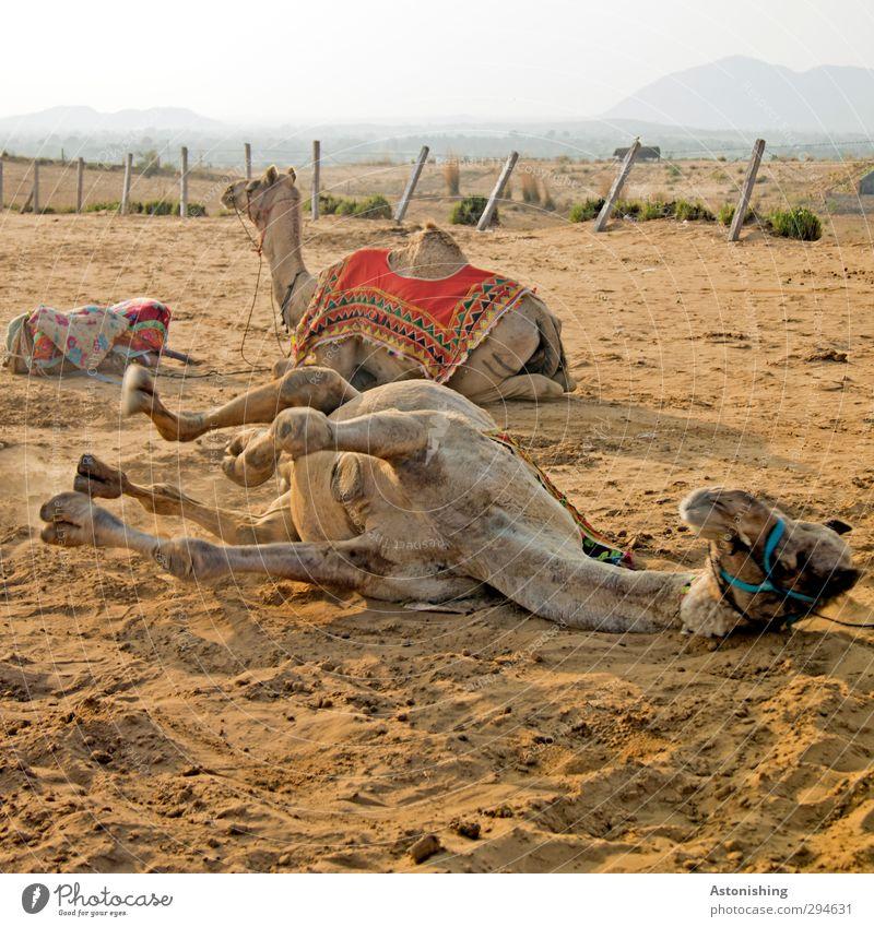 Camel down!! Himmel Natur blau Pflanze Tier Landschaft Umwelt gelb Berge u. Gebirge Sand Reisefotografie braun liegen Wetter Erde Wildtier