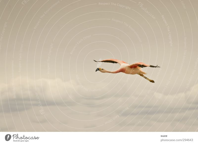 Ab in den Süden exotisch Sommer Umwelt Natur Tier Urelemente Luft Himmel Wolken Klima Schönes Wetter See Wildtier Vogel Flamingo fliegen hell rosa Chile
