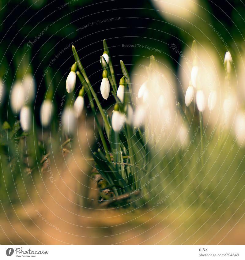 Frau Holle hört nicht auf Frühling Winter Pflanze Blume Schneeglöckchen Blühend Duft natürlich wild Frühlingsgefühle Vorfreude Farbfoto Außenaufnahme