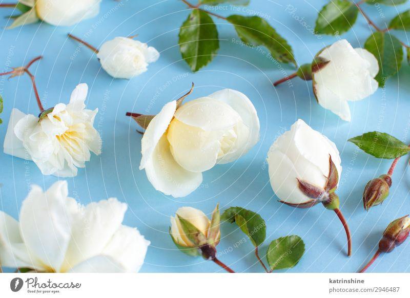 Rosen auf hellblauem Hintergrund Design Dekoration & Verzierung Valentinstag Muttertag Hochzeit Frau Erwachsene Blume weiß hell-blau romantisch geblümt Feiertag