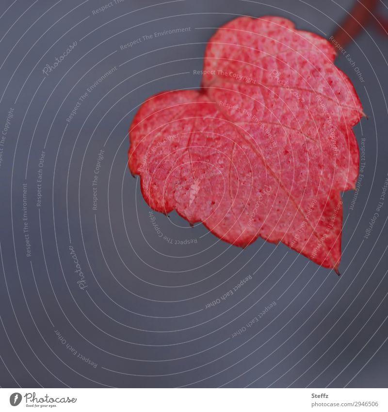 NaturHerz Valentinstag Geburtstag Pflanze Herbst Wildpflanze Weinblatt Blatt Herbstlaub Blattadern Garten natürlich schön grau rot Liebe Verliebtheit Romantik