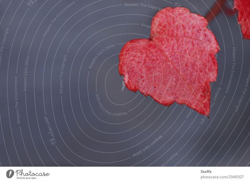 Herz- und Herbstfärbung Natur Pflanze Blatt Wildpflanze Blattadern Gartenpflanzen Herbstlaub Weinblatt schön blau grau rot Liebe Verliebtheit Romantik