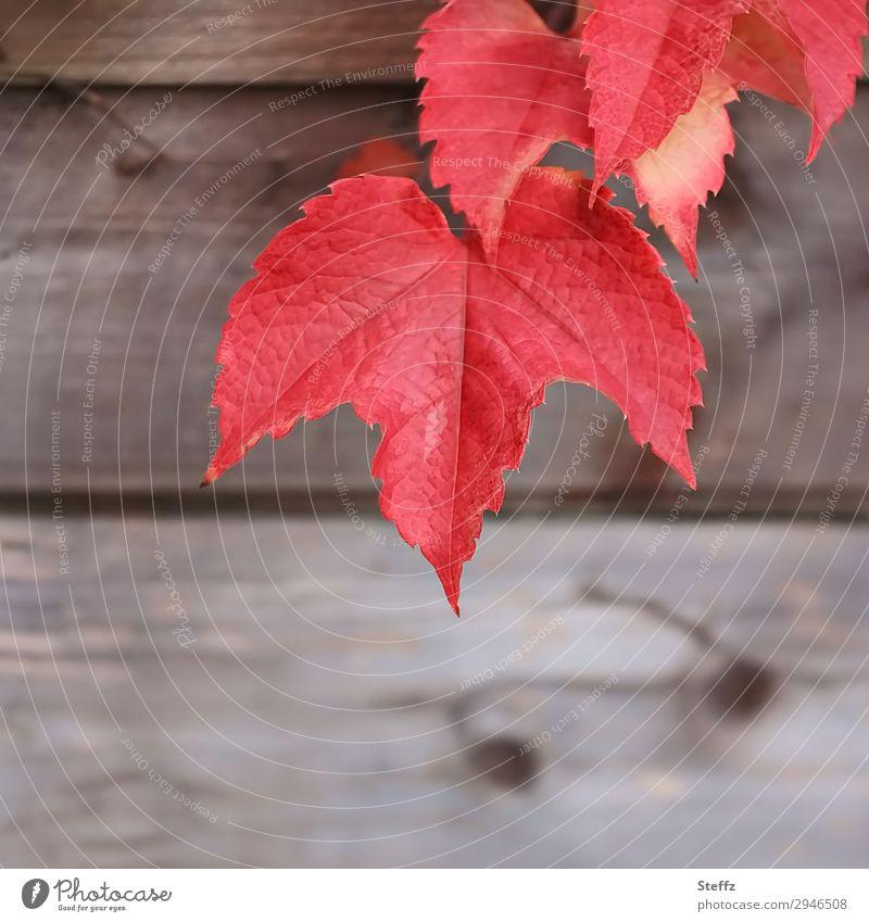 Weinblätter im Garten Natur Pflanze Herbst Blatt Nutzpflanze Weinblatt Blattadern Herbstlaub Holz natürlich schön braun rot Herbstgefühle Novemberstimmung
