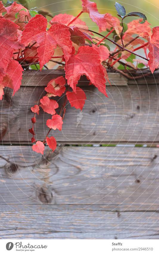 Rotwein Natur Herbst Pflanze Blatt Nutzpflanze Wildpflanze Weinblatt Herbstlaub Garten Holz ästhetisch natürlich schön braun rot Herbstgefühle herbstlich