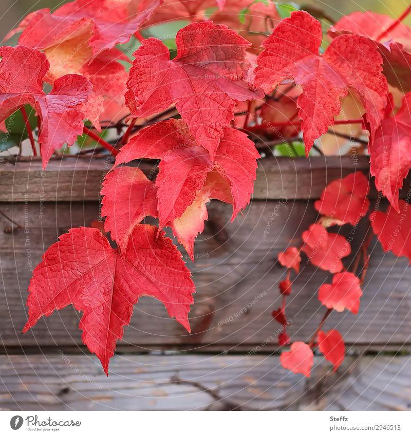 Weinblätter Natur Herbst Pflanze Blatt Wildpflanze Weinblatt Herbstlaub Gartenpflanzen Blattadern Holz hängen ästhetisch natürlich schön viele rot Herbstgefühle