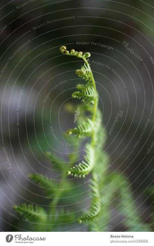 Lichtblick | Entwicklung Umwelt Natur Pflanze Sommer Efeu Wachstum ästhetisch dunkel grün Vorfreude Blattknospe Farnblatt Lichteinfall Grünpflanze Waldboden