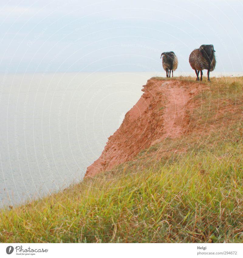 komm...wir geh´n heim! Ferien & Urlaub & Reisen Freiheit Sommer Umwelt Natur Landschaft Himmel Gras Wiese Felsen Küste Insel Helgoland Klippe Tier Nutztier