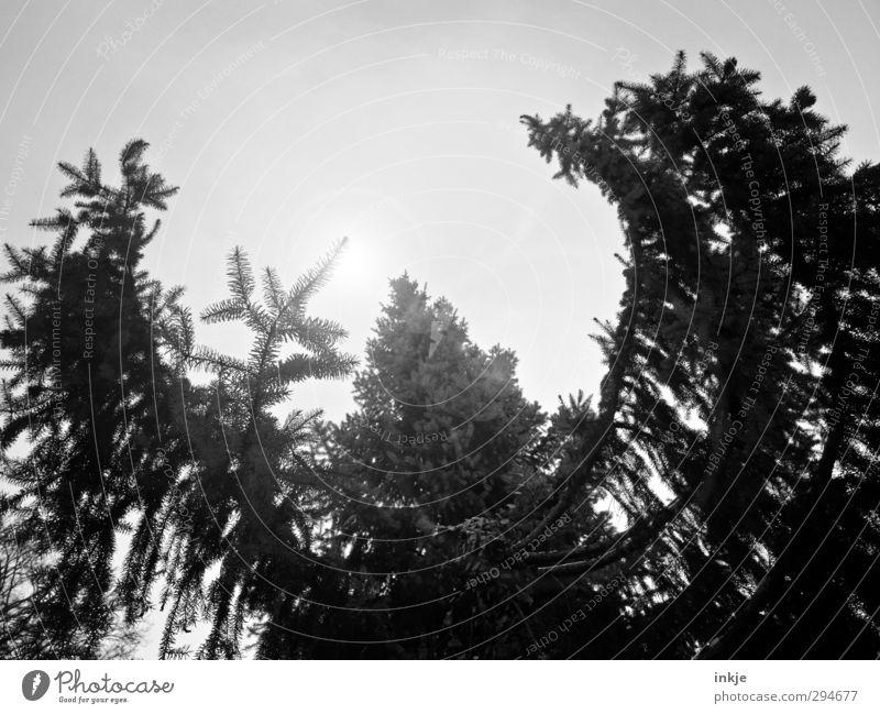 Der Wald lebt! | Lichtblicke Umwelt Himmel Sonne Sonnenlicht Klima Wetter Nebel Baum Tannenzweig Fichtenwald Baumkrone Nadelbaum Wachstum bedrohlich dunkel groß