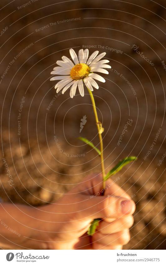Kind hält eine Margerite harmonisch Zufriedenheit Erholung ruhig Hand Finger Natur Erde Sommer Blume wählen festhalten Blick einfach frei Freundlichkeit
