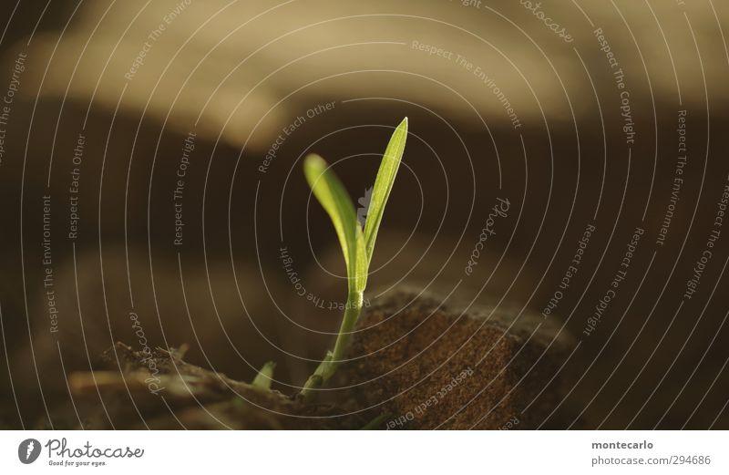 Lichtblick | wird schon noch Umwelt Natur Pflanze Herbst Gras Grünpflanze Wildpflanze Wald Stein Sand dünn authentisch einfach frisch klein natürlich wild weich