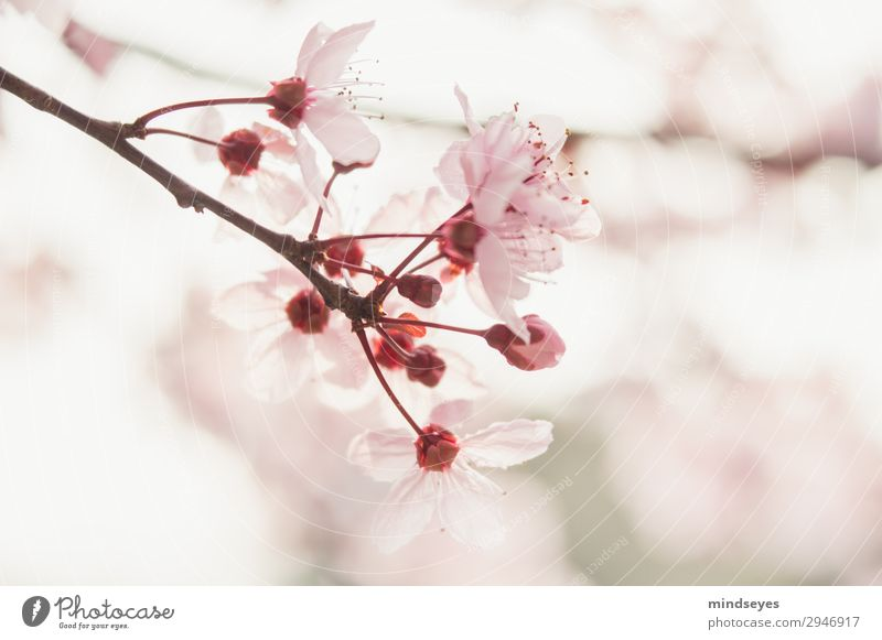 Kirschblüten Natur Pflanze Frühling Zweige u. Äste Blühend Duft Wachstum ästhetisch frisch hell natürlich rosa Frühlingsgefühle Leben Hoffnung Umwelt Farbfoto