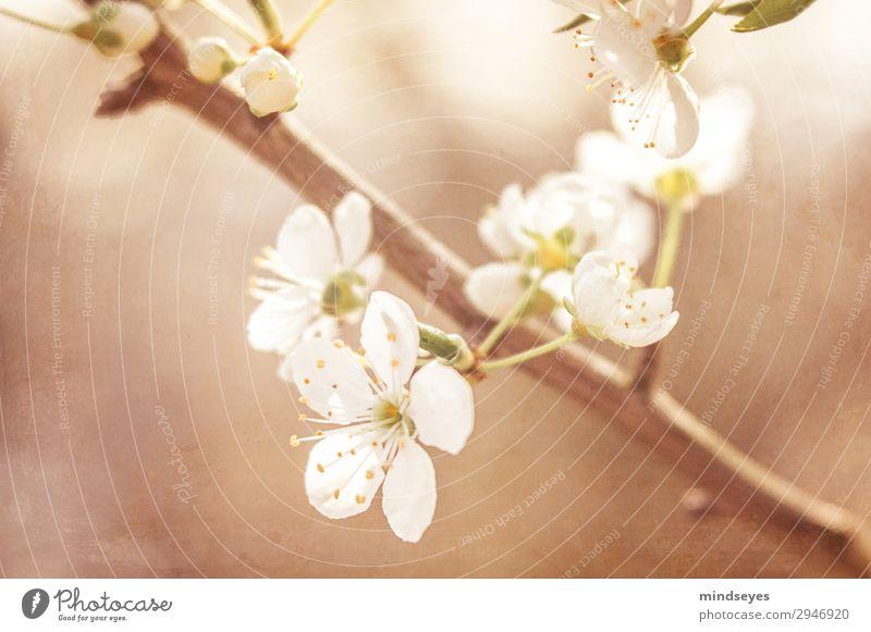 Kirschblüten am Zweig Natur Pflanze schön weiß Leben Frühling natürlich braun träumen Wachstum Blühend Frühlingsgefühle Zweige u. Äste