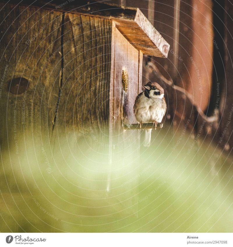 Ruhe da drinnen! Tier natürlich Vogel braun Häusliches Leben Zufriedenheit sitzen beobachten einfach Freundlichkeit Neugier frech Holzhaus Spatz Holzhütte