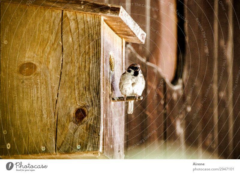 Fertighaus, familienfreundlich Futterhäuschen Nistkasten Holzhaus Tier Vogel Spatz 1 beobachten sitzen Häusliches Leben frech braun Wachsamkeit Natur ländlich