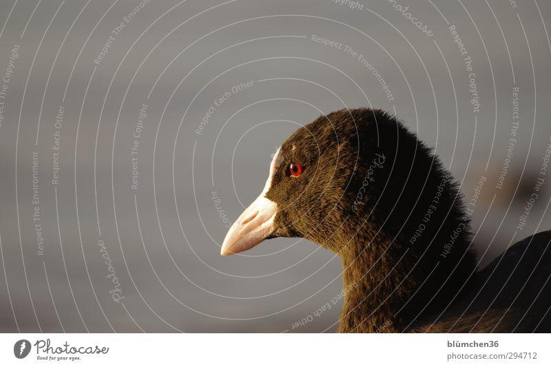 Lichtblick | Den Blick schweifen lassen... Tier See Wildtier Vogel Tiergesicht Blässhuhn Teichhuhn 1 beobachten frei Gesundheit schön natürlich schwarz weiß