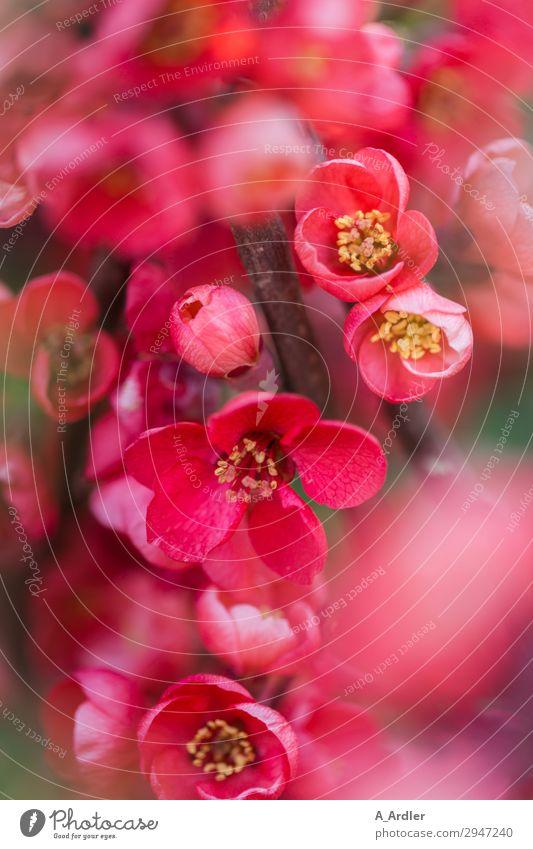 Japanische Zierquitte ( Chaenomeles japonica ) Natur Pflanze Frühling Sommer Schönes Wetter Blume Sträucher Blüte Wildpflanze Garten Park Blühend gelb grün rosa