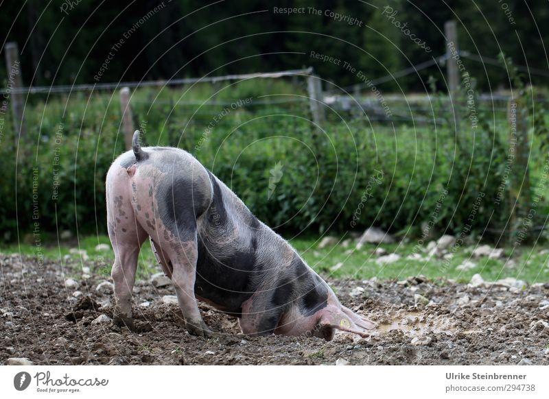 Kehrseite Natur Pflanze Tier Erde Sommer Baum Gras Sträucher Wiese Feld Haustier Nutztier Schwein 1 Fressen genießen dreckig Gesundheit Glück natürlich Freude