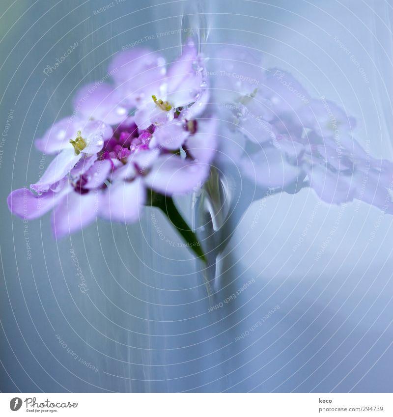ROSA-LILA schön Wellness Leben harmonisch Wohlgefühl Duft Natur Pflanze Wasser Frühling Sommer Blume Blüte berühren Blühend träumen Wachstum Flüssigkeit frisch