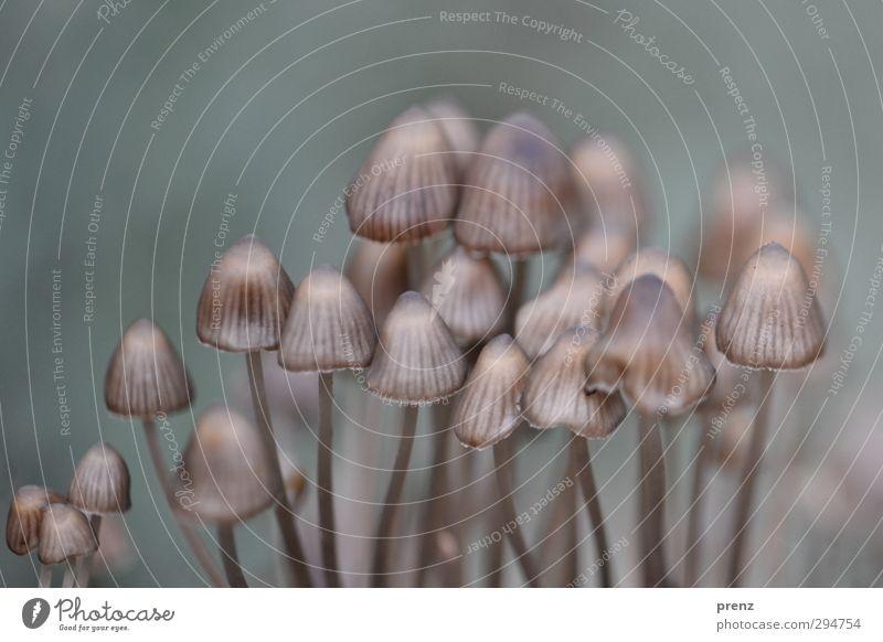 mit Schirm und Charme Natur Pflanze Umwelt Herbst grau mehrere violett Pilz Wildpflanze