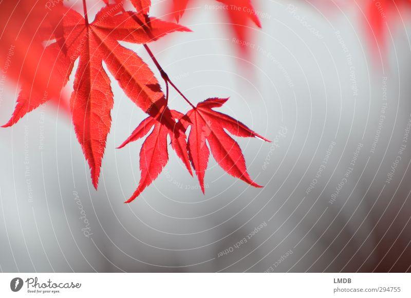Roter Fächerahorn im Frühling Natur Pflanze Baum rot Blatt Liebe Erotik Frühling grau klein Garten Wachstum Beginn Spitze Trauer Leidenschaft