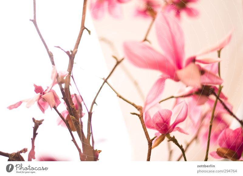 Frühling Umwelt Natur Pflanze Schönes Wetter Blume Orchidee Blüte exotisch Garten Blumenstrauß Wachstum gut schön blühen Magnoliengewächse Vase wallroth Zweig