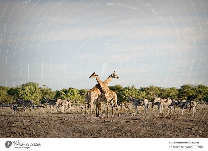 giraffe Natur Ferien & Urlaub & Reisen Sommer Erholung Landschaft Tier Ferne Umwelt Wärme Freiheit gehen Sand Wildtier Tourismus Tierpaar Ausflug