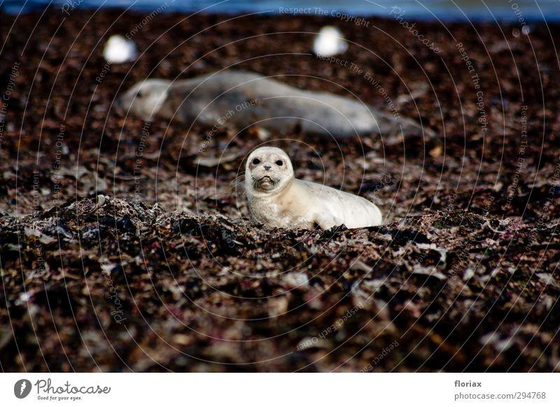 Kleine Robbe Natur Ferien & Urlaub & Reisen Meer Tier Strand Umwelt Tierjunges Küste klein liegen Wildtier Insel frei Tourismus Kommunizieren niedlich