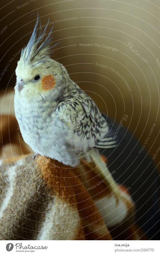 kleiner liebling Tier Erholung Umwelt gelb grau braun Vogel orange gold sitzen Zufriedenheit Feder Flügel weich beobachten