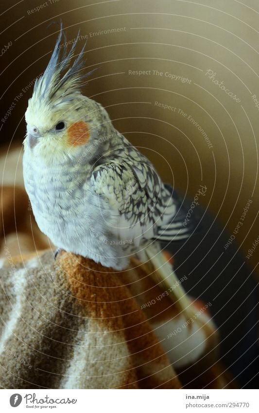 kleiner liebling Tier Haustier Vogel Flügel 1 beobachten Erholung sitzen braun gelb gold grau orange Zufriedenheit Umwelt Nymphensittich Sittich Wellensittich