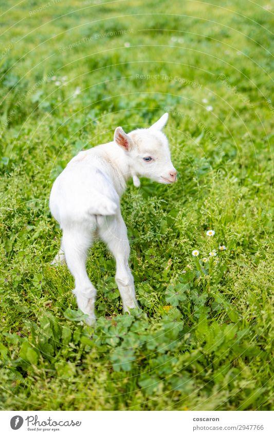 Porträt einer kleinen Ziege auf dem Gras Freude Ferien & Urlaub & Reisen Sommer Kind Baby Natur Tier Frühling Blume Garten Park Wiese Feld Dorf Kleinstadt