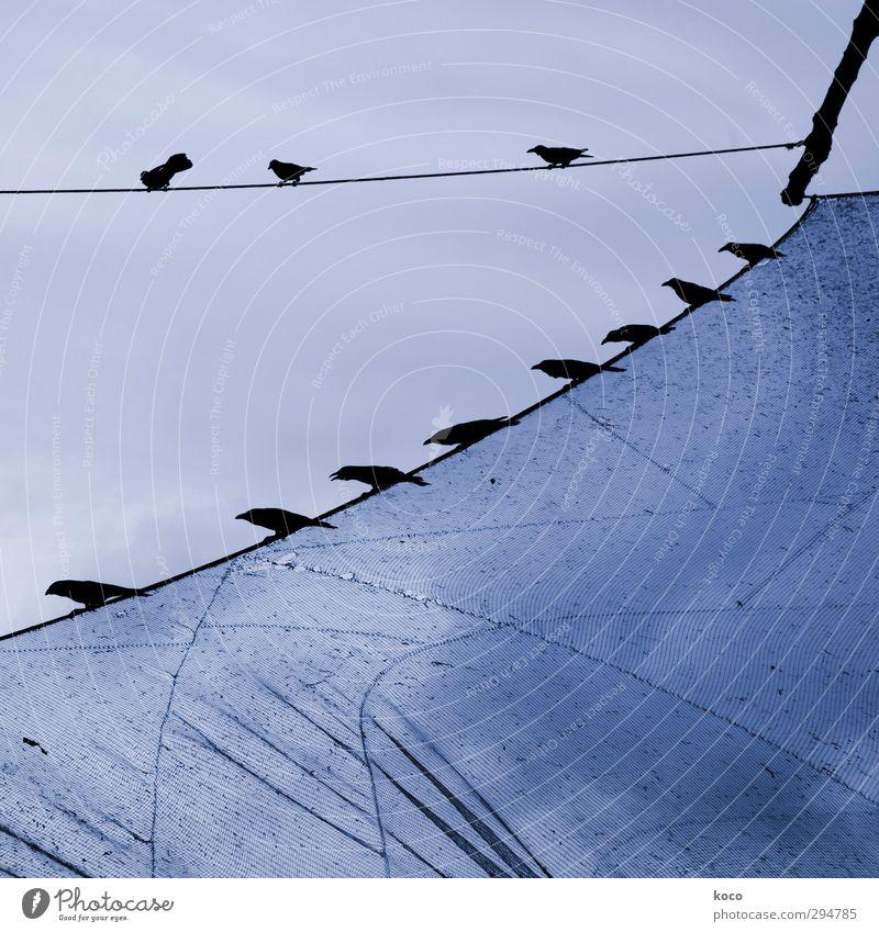 Die Vögel Himmel blau Sommer Tier schwarz Frühling Linie Vogel Zusammensein fliegen sitzen Ordnung Luftverkehr ästhetisch Tiergruppe Netzwerk