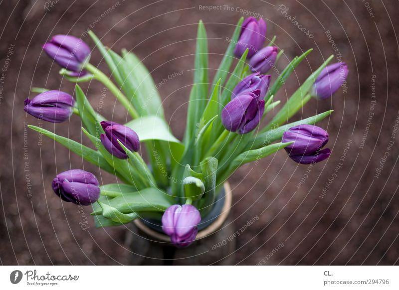 tulpen Pflanze grün schön Sommer Blume Blatt Frühling Glück Garten Park Erde Geburtstag ästhetisch Lebensfreude Schönes Wetter violett