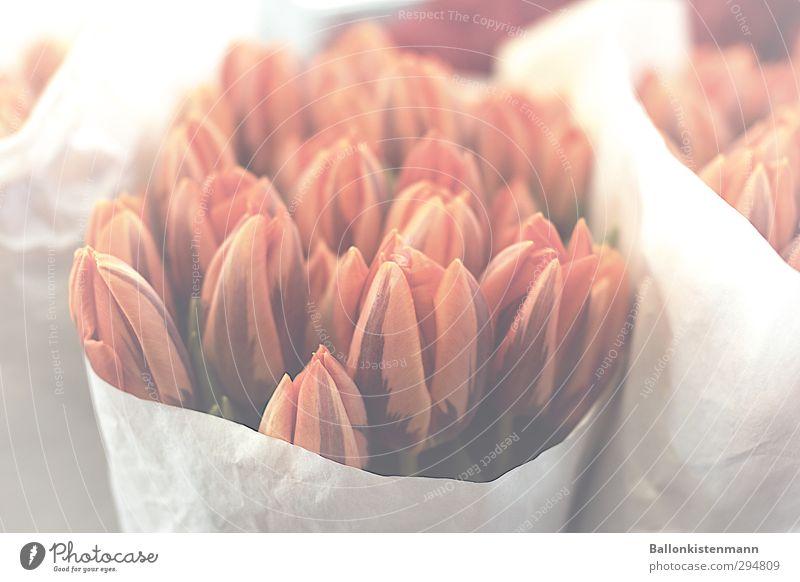 Tulpen Party Blume Blüte Blumenstrauß Blühend natürlich orange rot weiß Frühlingsgefühle Verliebtheit Romantik schön Trauer Liebeskummer Sehnsucht ästhetisch