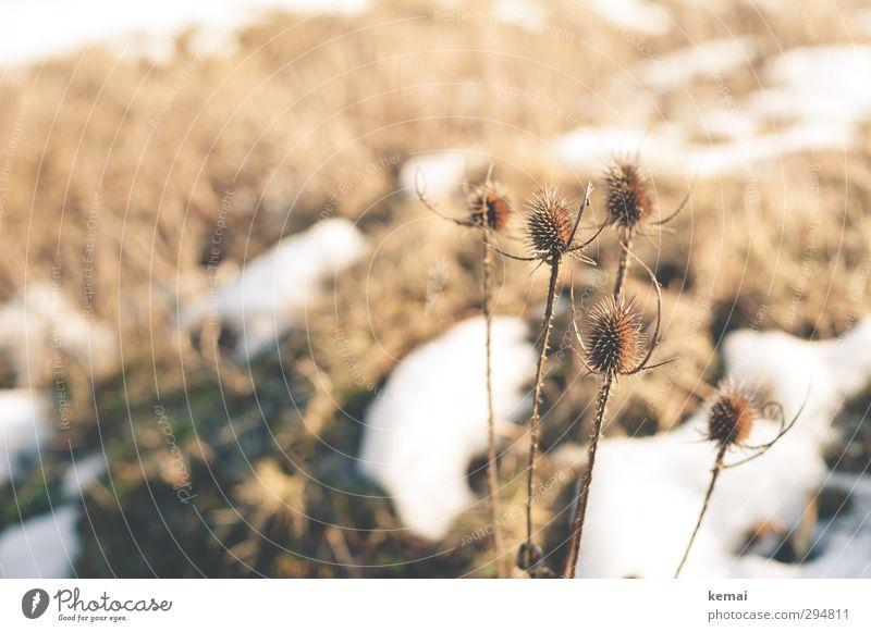 Schneeschmelze Umwelt Natur Landschaft Pflanze Frühling Winter Schönes Wetter Eis Frost Blume Wildpflanze Distel Wiese Feld dehydrieren Wachstum hell sanft